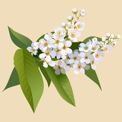 Bunch of blossoming cherries flower