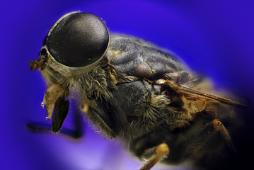Detail of fly