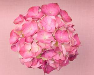 A light pink hydrangea flower on a dark pink background