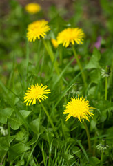 Yellow dandelions  in a garden field