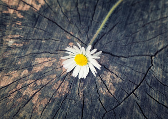A daisy freshly ripped from the garden on a vintage wood trunk b