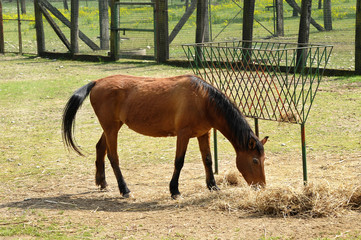 One Brown Horse Eating Hay at the Farm Alone