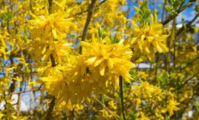 Blossoming forsythia in spring under a blue sky