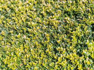 Fresh Bush Leaves Texture Background Pattern