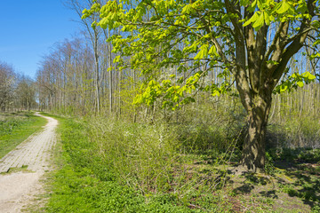 Chestnut along a footpath in spring under a blue sky