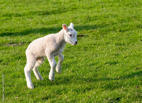 Spoed canvasdoek 2cm dik Schapen Gambolling lamb