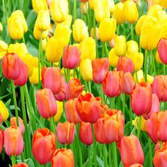 Ensemble de tulipes jaunes et rouges dans un champs au soleil