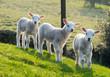 Spring lambs - 81951930