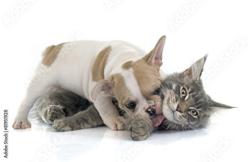Foto op Plexiglas Franse bulldog puppy french bulldog and cat