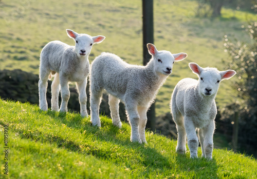 Papiers peints Sheep Spring lambs