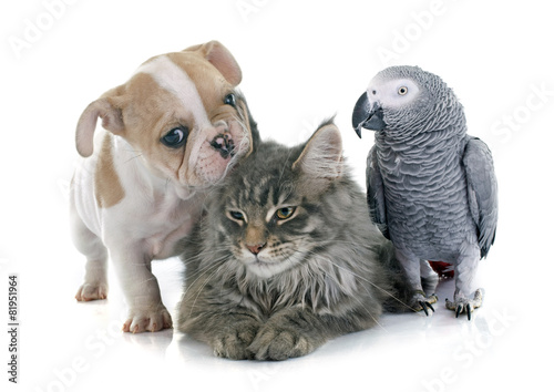 Fotobehang Papegaai parrot, puppy and cat