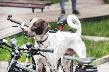 Young hunting dog among bicycles in park