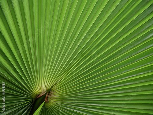 Papiers peints Palmier Fächerpalme - fan palm leaf