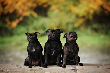 Group of three trained english staffordshire terrier dogs