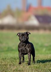 Female english staffordshire bull terrier