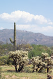Sonoran Desert landscape with Carnegiea gigantea and  teddy bear poster