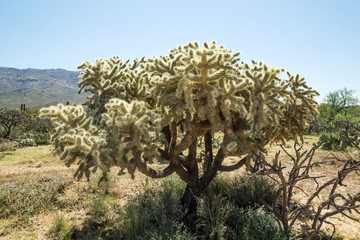 Cylindropuntia fulgida, the jumping cholla, also known as the ha