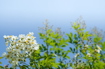Blooming Rosa multiflora
