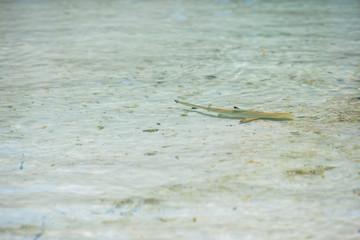 Baby shark in shallow water at Maldives