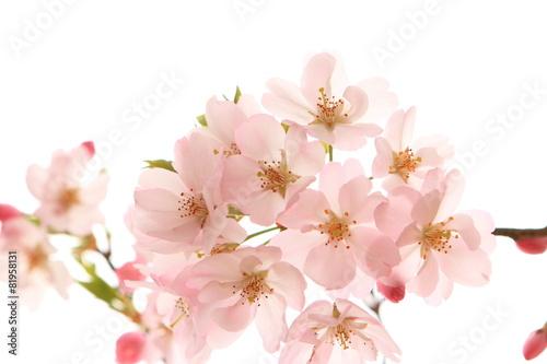 Fotobehang Kersen 満開の桜