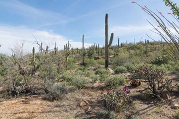 Landscape with flowering cactus Saguaro National Park, Arizona,