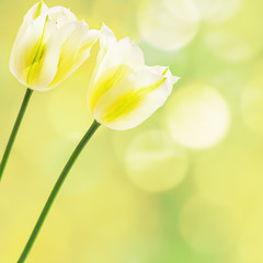 White tulips on abstract background