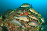Silver Sweetlips fish on coral reef