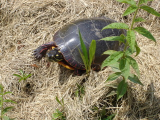 Turtle in Brown Grass