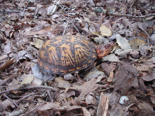 Box Turtle in Leaves