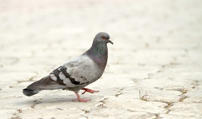 wild pigeon walking on the earth