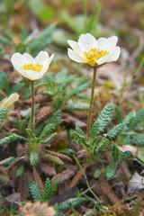 Flower Dryas punctata in natural tundra environment
