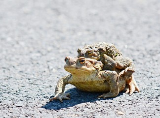Closeup shot of two mating ugly frogs.