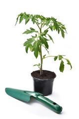 pied de tomate et plantoir sur fond blanc