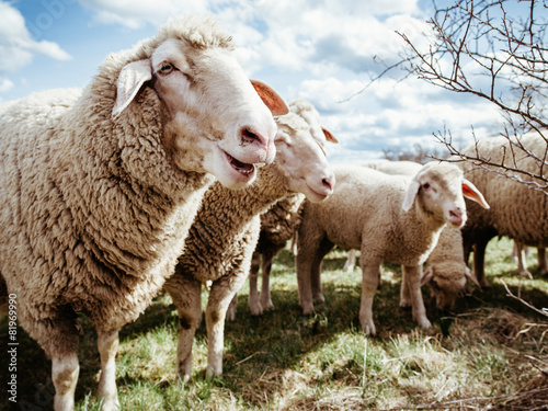Papiers peints Sheep Schafe