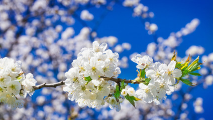 Kirschblüten, Kirschbaumblüte