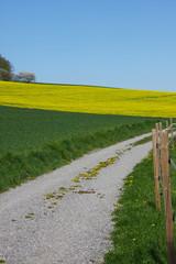 Frühlingslandschaft mit Rapsfeld