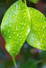 gouttes d'eau sur feuilles de ficus benjamina