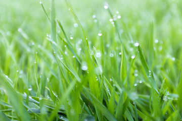 close-up shoots of winter crops covered with dew in the field