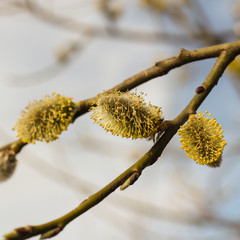 Willow branches in spring with blooming buds