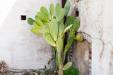 Opuntia cactus near wall of house