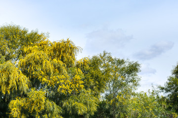 mimosa trees (acacia) in spring season in Sicily