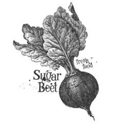 beetroot on a white background. sketch