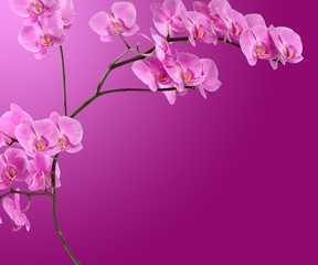 Branch pink orchid on gradient