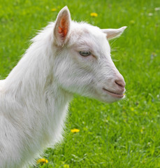 an young whte goat in the garden