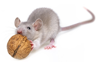 a mouse eating a nut