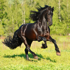 Black Frieasian horse runs gallop in freedom