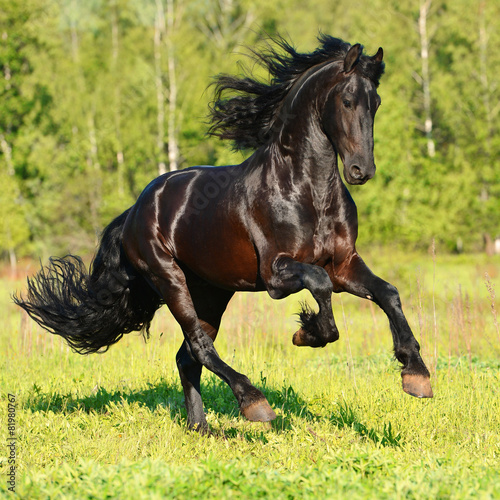 Black Frieasian horse runs gallop in freedom - 81980767