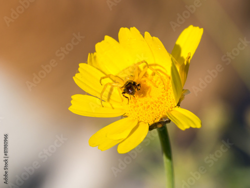 Crab spider Thomisidae hunting a bee - 81980966