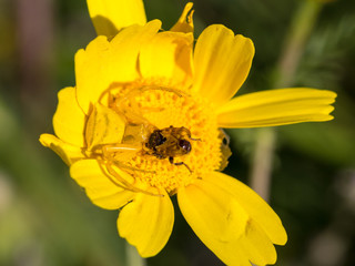 Crab spider Thomisidae hunting a bee