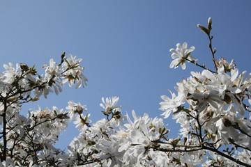 Kobus-Magnolie blüht unter blauem Himmel